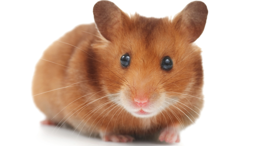how the wild hamster was tamed npr. Black Bedroom Furniture Sets. Home Design Ideas