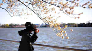Pictures Of People Taking Pictures Of Cherry Blossoms