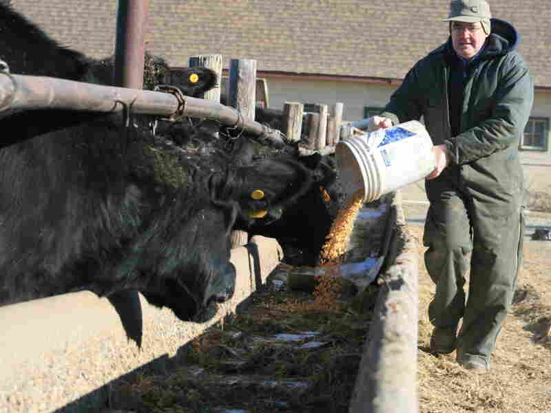 Ed Morse dumps a bucket of corn into feed bunks on his land near Council Bluffs, Iowa. He is expanding his cattle herd and converting cropland into pastureland.