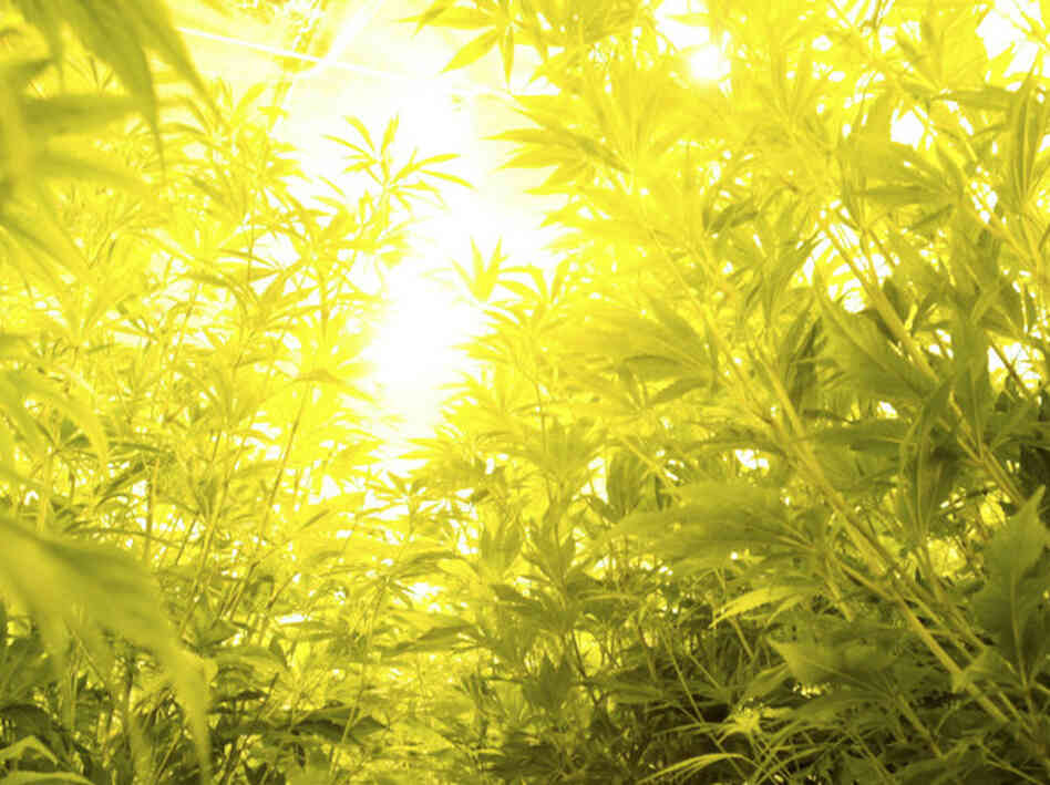 A room full of marijuana plants is seen inside a house during a raid in Miami-Dade County, Fla.