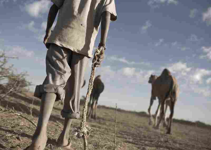 A boy takes his family's camels out to graze in the Somaliland countryside.