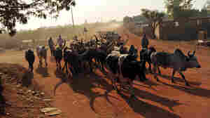 Cattle herders lead cows and bulls down an unpaved road in Southern Sudan's main city Juba — soon to be the capital of the new country.