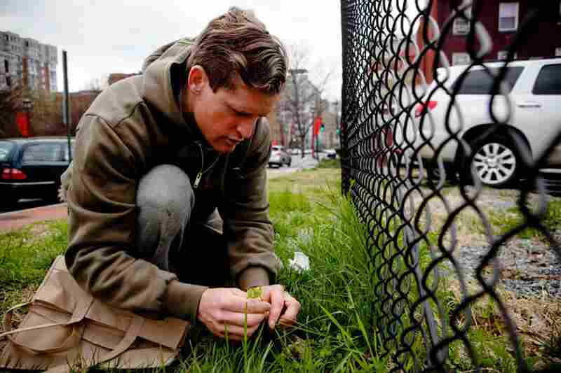 Thayer finds some common chickweed good for salad-making along a fence near NPR's headquarters.
