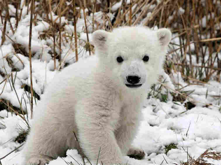 This isn't the polar bear cub from the video, but boy, what a cutie!