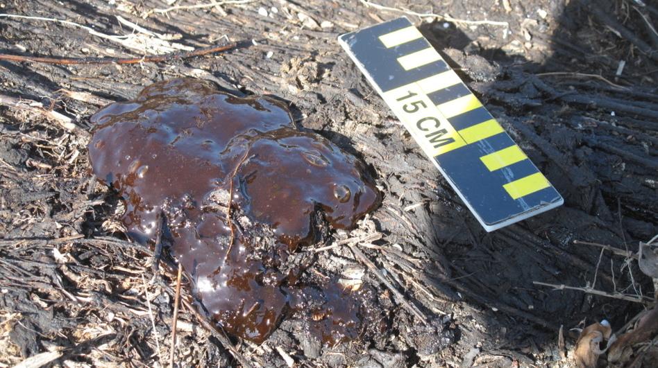Oil oozes to the surface of marshland near Bay Jimmy, on the Louisiana coast.