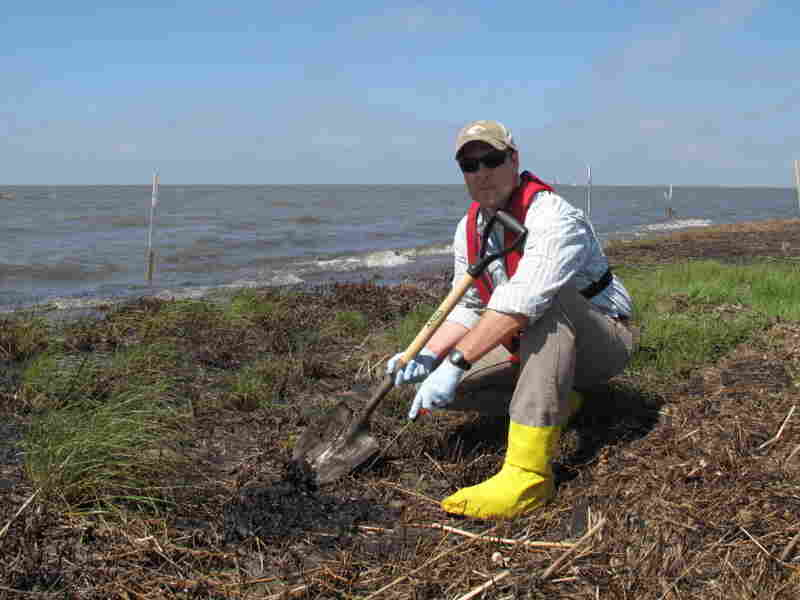 """Scientist Scott Zengel, who is overseeing the marsh survey crews on behalf of the National Oceanic and Atmospheric Administration, points to oily """"mousse"""" that lies just a few inches below the surface of the marshland. This subsurface oil isn't being broken down by wind, rain, waves or sun."""