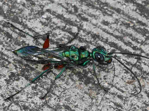 The emerald cockroach wasp stings the brain of a cockroach, disabling it and making it docile before laying eggs inside the roach's belly.