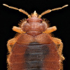 Bat bugs typically feed on bats. But when no bats are available, these parasitic creatures will happily feed on humans, too.