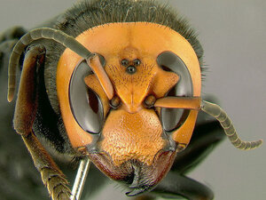 The Asian giant hornet is the world's largest hornet — and is known for possessing a deadly sting.