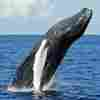 Steady As A Whale? Humpbacks Swim Straight Lines