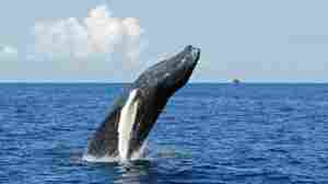 Steady As A Whale? Humpbacks Swim Straight Lines