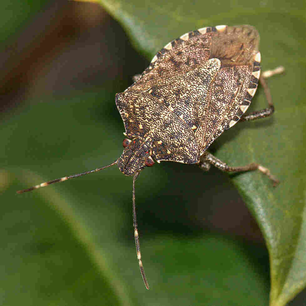Can Wasps Squash The Stink Bug Plague?