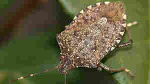The brown marmorated stink bug has inundated the mid-Atlantic, taking its toll on crops across the region. Researchers are investigating whether a type of parasitic wasp can bring down stink bug numbers.