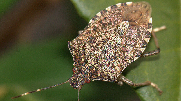 The brown marmorated stink bug has inundated the mid-Atlantic, taking its toll on crops across the region. Researchers are investigating whether a type of parasitic was can bring down stink bug numbers.