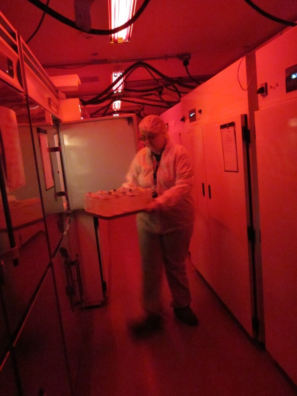 Kathy Tatman removes jars from an insect growth chamber at a quarantine lab at the U.S. Department of Agriculture's Beneficial Insects Introduction Research Unit. Most insects can't see red, so the red light lights essentially keep the insects in the dark, making them less likely to fly around and escape.