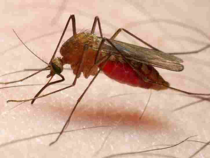 Bite me: Could malaria-infected mosquitoes protect against the disease?