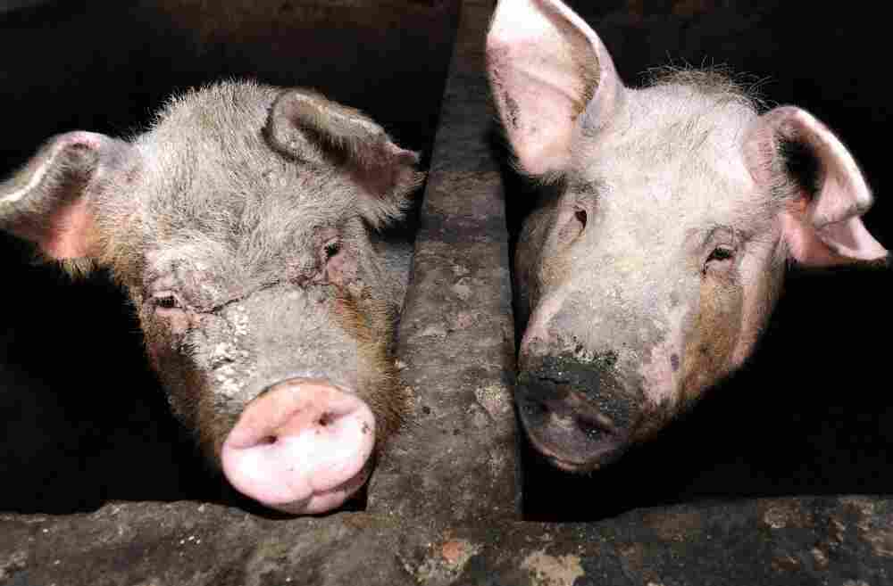 Two pigs look out of their enclosures at a pig farm on the outskirts of Beijing.