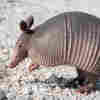 Mysterious Leprosy Cases Linked To Armadillos