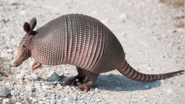 The armadillo is the only animal, besides humans, that is known to carry leprosy-causing bacteria.