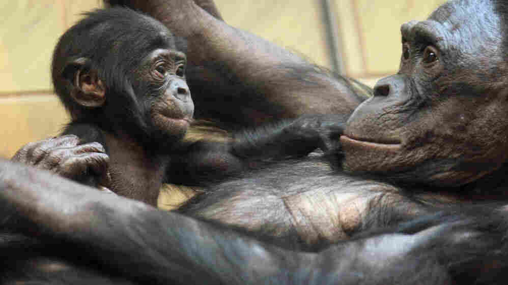 Three-month-old baby bonobo Nakarla plays with its mother Ukela on March 19, 2008 at the zoo in Frankfurt.