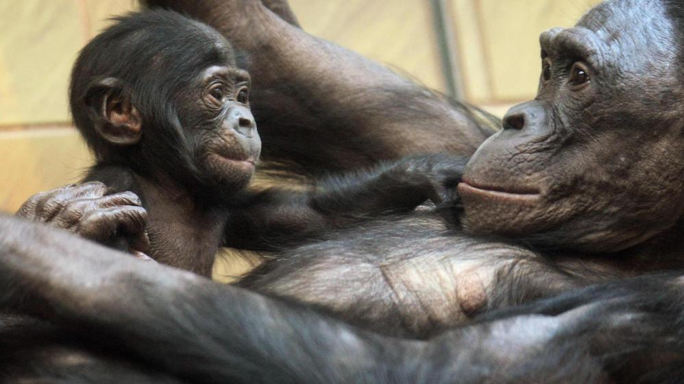 Resultado de imagen de bonobo mother