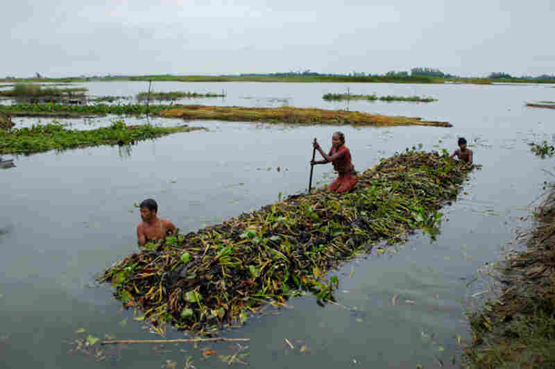 Enterprising island inhabitants in the Gaibandha District use hyacinth plants to create floating gardens, where they will plant squash, okra, and other food crops.