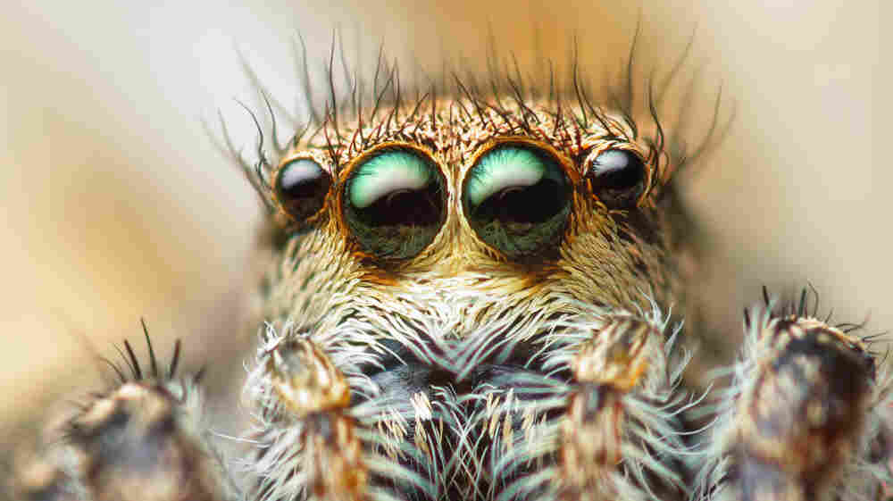 A lady jumping spider.
