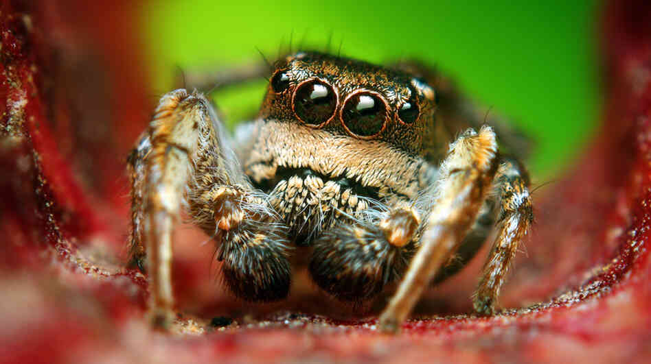 An adult male Habronattus cognatus jumping spider.