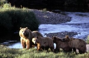 A grizzly bear with three cubs inside Yellowstone National Park in Wyoming.