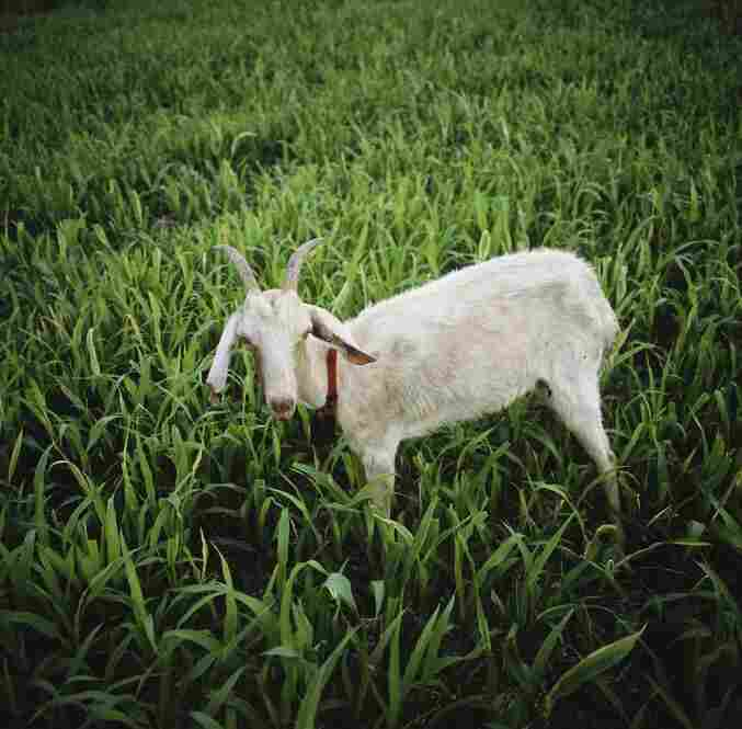 An emaciated goat walks the Cannavacciuolos' field. The Cannavacciuolo family no longer earns money off the land, which has been in the family for generations. The goat died two days after this picture was taken.