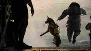 One Commando Had Four Legs; A Dog Reportedly Was Part Of Bin Laden Raid