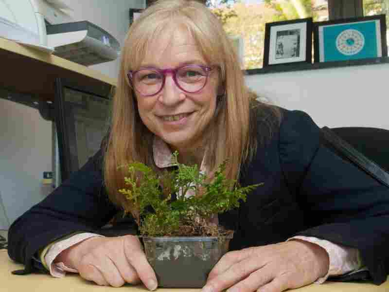 Jody Banks displays a selaginella plant at her desk at Purdue University. Banks says selaginella represents an important step in the evolution of plants and produces secondary metabolites that could have medical applications.