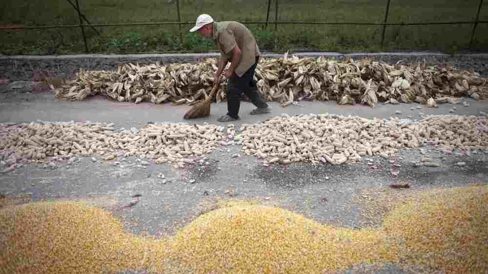 A Chinese farmer sweeps up dried cobs and stripped corn on a roadside outside Beijing. A new study finds that global production of corn and wheat would have been 5 percent higher if not for global warming.