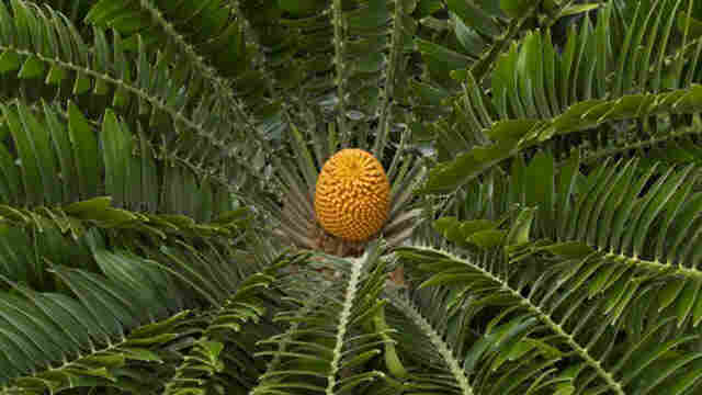 The E. woodii cycad at the Kew Royal Botanical Garden in London.