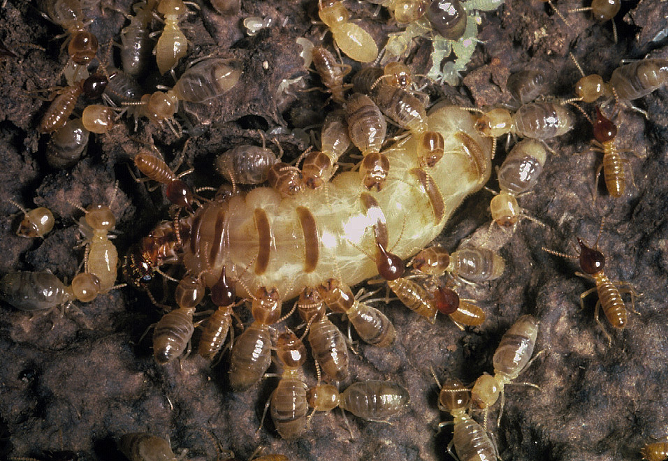 A Termite Queen And Her Ultimate Sacrifice Npr