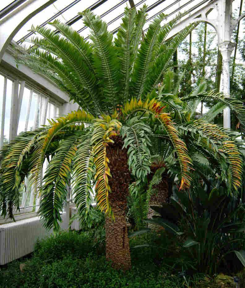 The extremely  rare Encephalartos woodii at the KEW Royal Botanical Gardens.