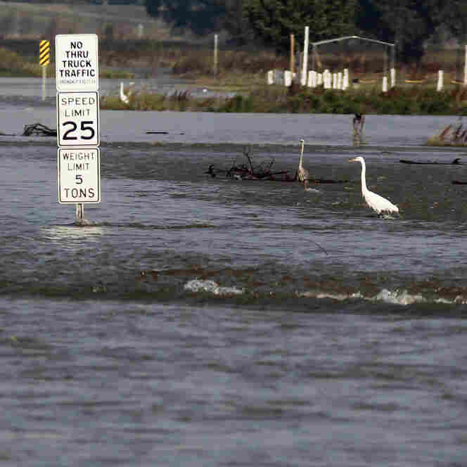 Herons stand and wait for fish in the Bonnet Carre Spillway. On Monday, workers opened some of the spillway's wooden barriers, which serve as a dam against the high water in Norco, La., in anticipation of rising floodwater. The spillway, which the Army Corps of Engineers built about 30 miles upriver from New Orleans in response to the great flood of 1927, last opened in 2008.