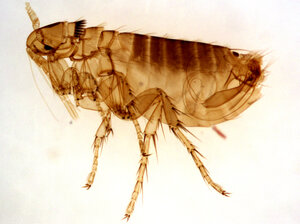 A bite from this type of flea, commonly found on rock squirrels in the Western U.S., can pass plague to humans.
