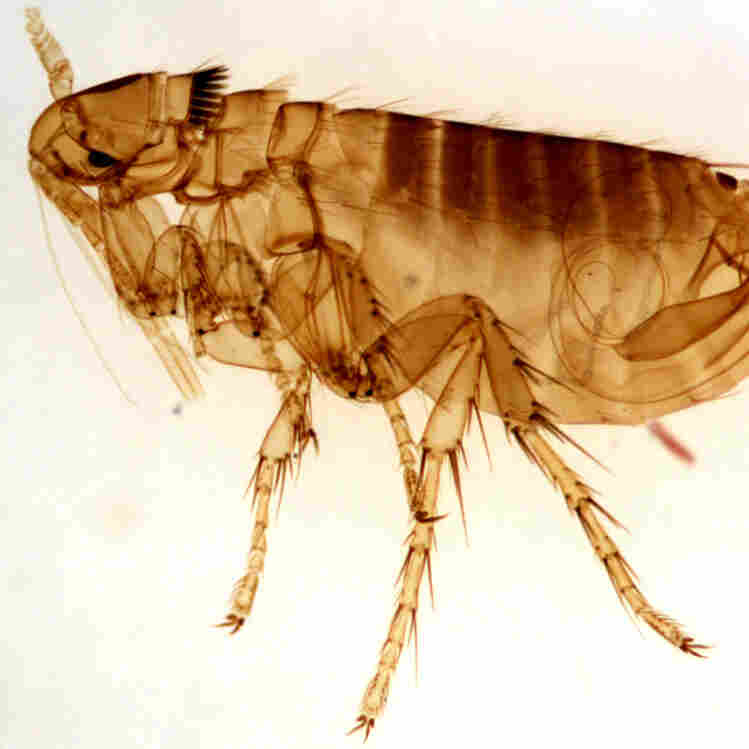 Plague Infects New Mexico Man
