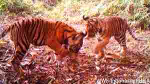 VIDEO: Wild Tiger Cubs At Play