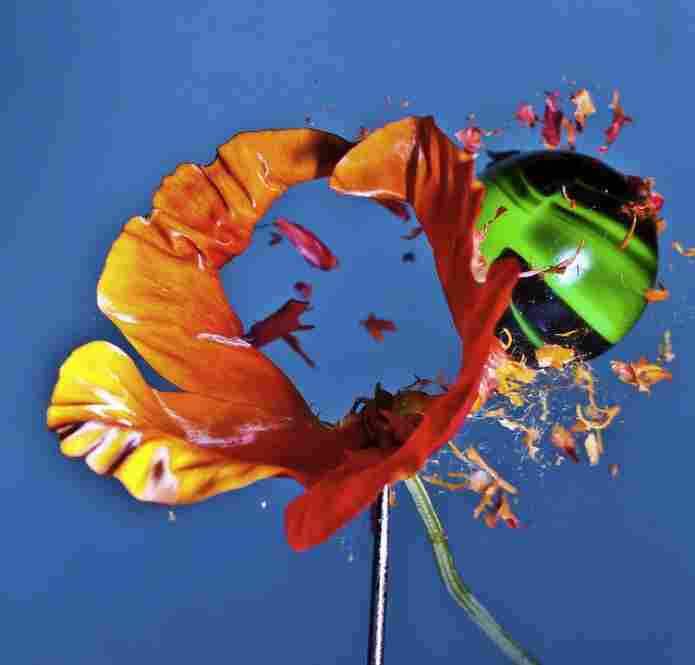 "California Screaming: ""A California poppy being punched out by a green paintball."""