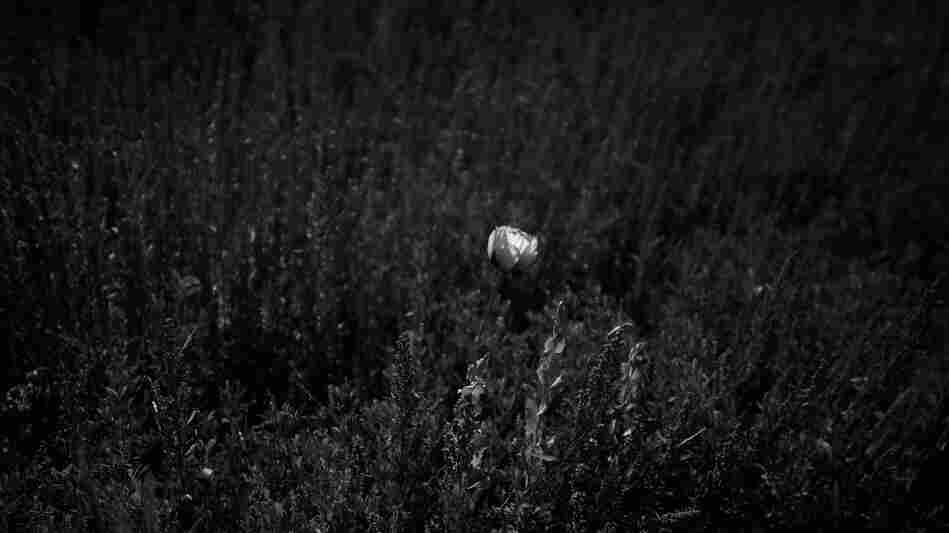 A stray poppy bud flowers in a field of both planted and wild grasses.