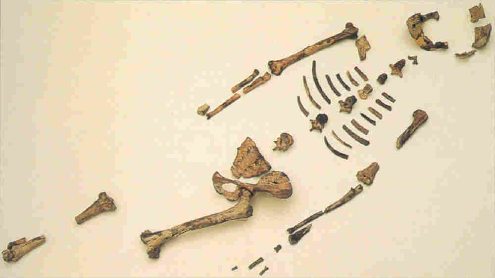 "Fossil remains of Australopithecus afarensi, known as ""Lucy,"" were first discovered in Ethiopia and Tanzania in the 1970s."