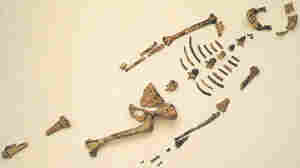 """Fossil remains of Australopithecus afarensi, known as """"Lucy,"""" were first discovered in Ethiopia and Tanzania in the 1970s."""
