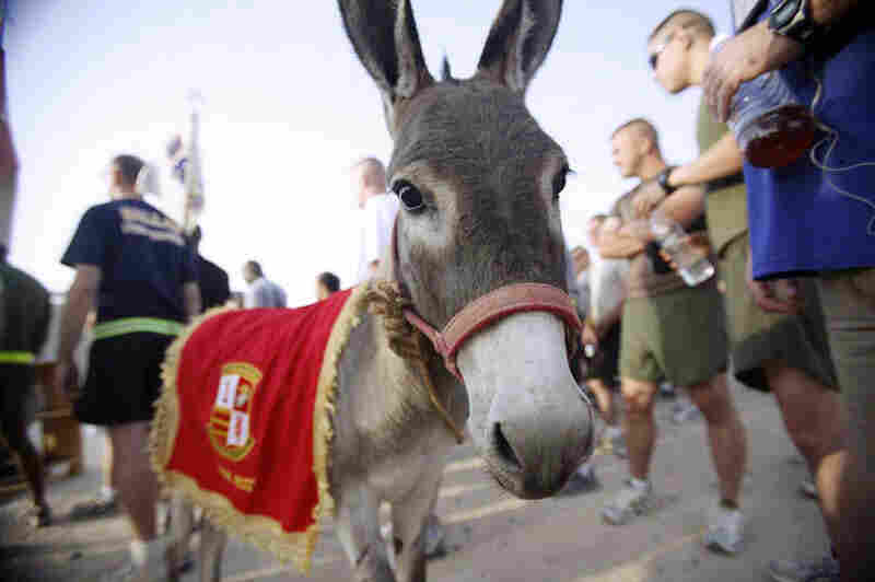 In this Sept. 11, 2008 photo provided by the Department of Defense and Retired Marine Col. John Folsom, Smoke the Donkey takes part in a Freedom Walk event at Camp Taqaddum, Iraq.