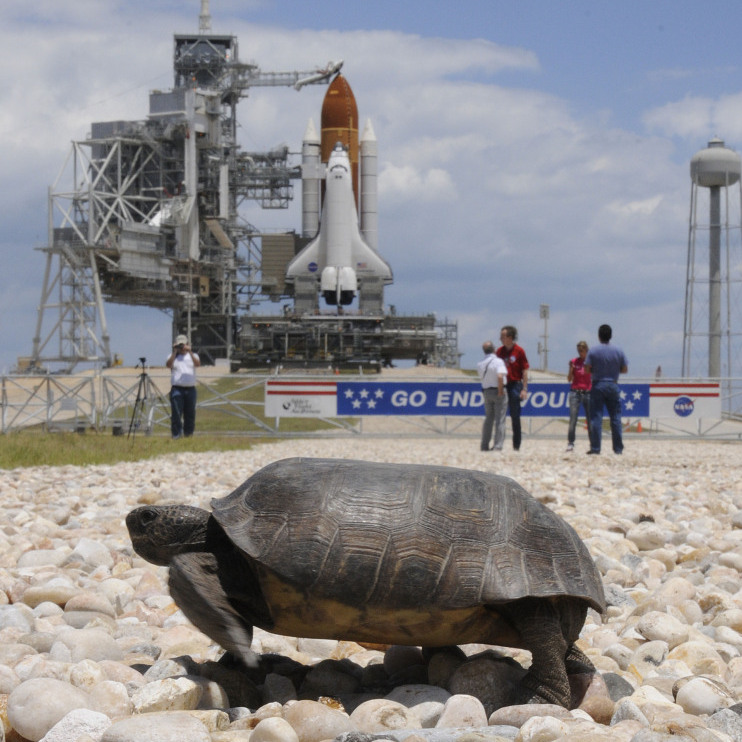A Gopher turtle crossed nearby on Sunday as Endeavour sat ready on the launchpad.