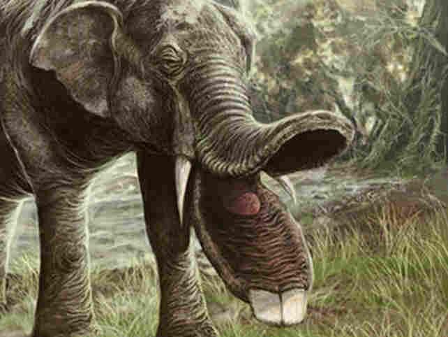 A Platybelodon mouth.