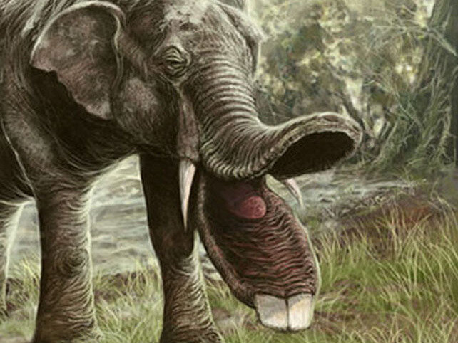 Platybelodon - Album on Imgur