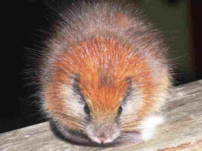 The red-crested tree rat, Santamartamys rufodorsalis, spotted in the mountains in Colombia.