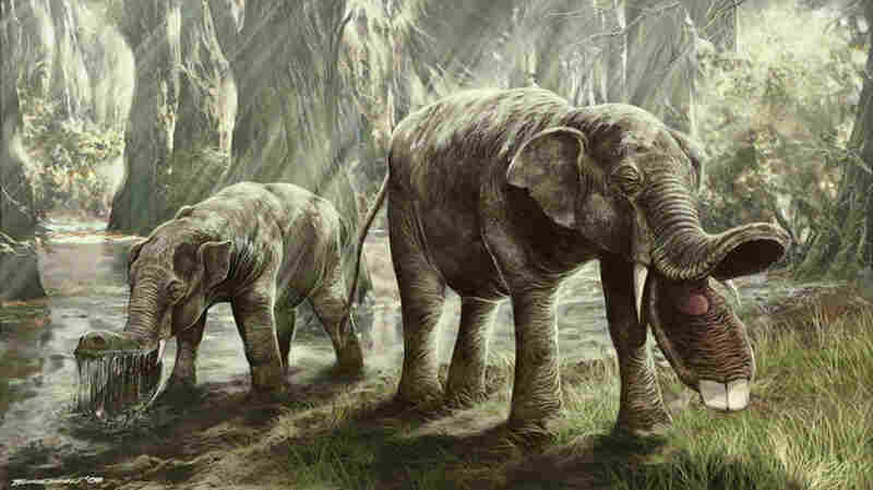 Illustration of Platybelodon, a  large herbivorous mammal  related to the elephant.